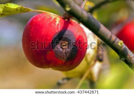 apple on a branch   defocus