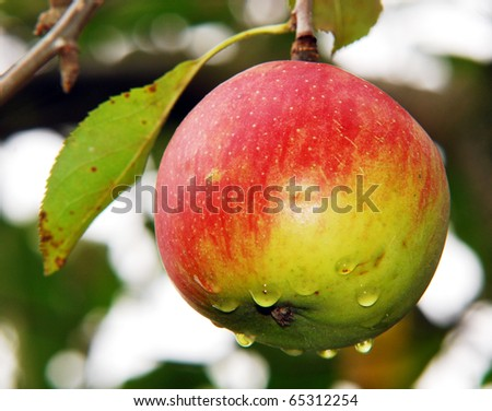 Apple on tree
