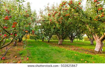 Apple on trees in orchard in fall season Сток-фото ©
