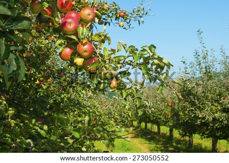 apple orchard, before harvest