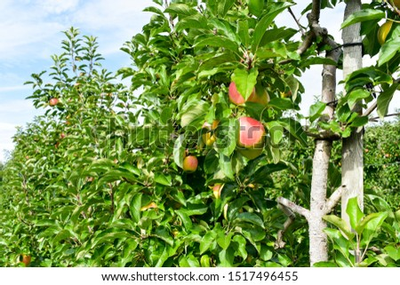 Apple orchard full of riped red fruits.