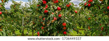 Apple orchard in summer time with ripe red apples, banner Сток-фото ©