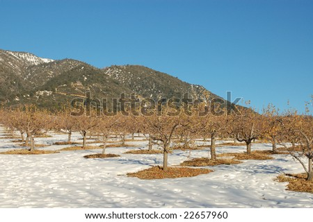 Apple orchard in winter; Oak Glen, California