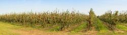 Apple Orchard panorama