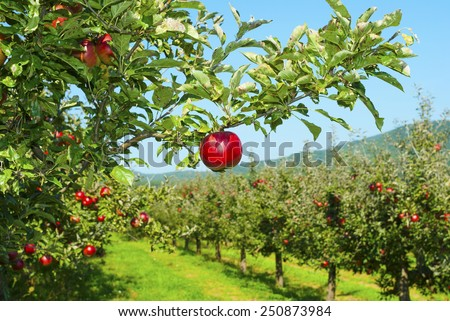 apple orchard, ripe fruits hanging on branch