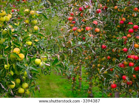 Apple orchard with green and red apples
