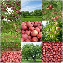 Apple orchards in summer and freshly picked red apples.