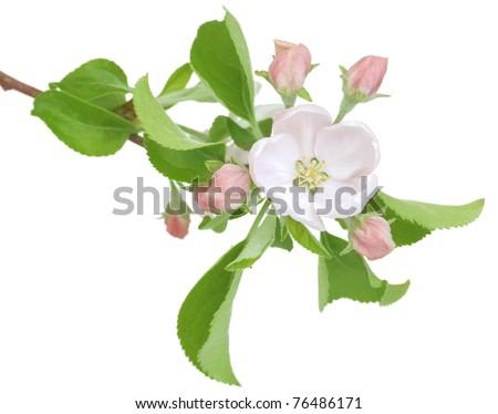 Apple Spring Flowers.Blossom