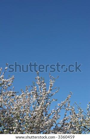 Apple tree against blue sky in spring