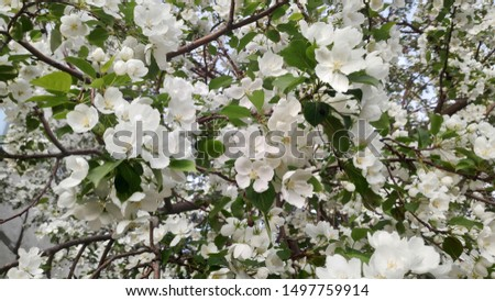 Apple tree blooming in spring. Blooms and smells. Soon there will be apples, and that is food for the bees #1497759914