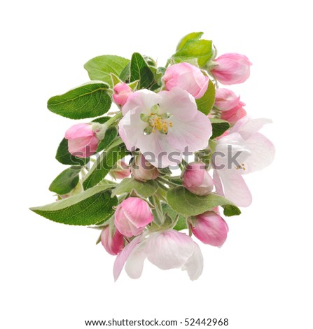 apple tree blossom isolated on white background