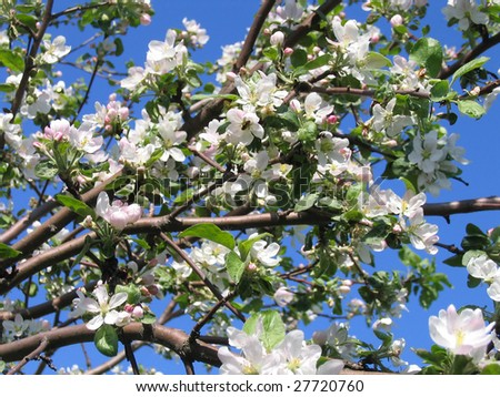 Apple tree blossom on the background of sky stock photo