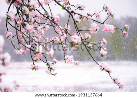 Apple tree blossoms covered in snow during unexpected snowfall in spring. Blooming flowers freezing under white snow in the garden.