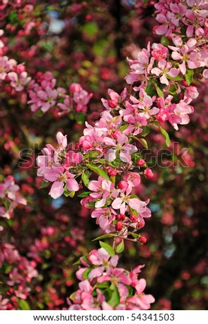 stock-photo-apple-tree-branch-full-of-pink-flowers-54341503.jpg
