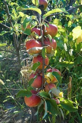 Apple tree branch strewn with apples. Bountiful harvest.