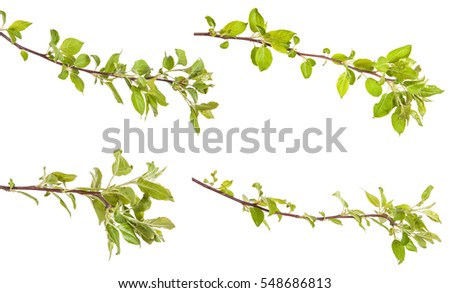 apple-tree branch with green leaves. isolated on white background. Set #548686813