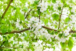 Apple tree branches, white blooming flowers closeup, fresh green leaves blurred background, beautiful spring cherry blossom, sakura flowers in bloom, summer nature, springtime flowering orchard garden