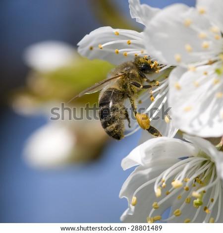 Apple tree flower and bee