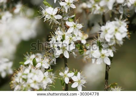 Apple tree flowers. Spring background