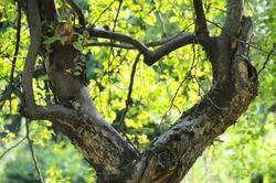 apple tree growing in the shape of heart