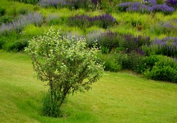 Apple tree in foreground on the lawn. lush flower bed with sage blue and purple flower color combined with ornamental grasses lush green color perennial flower bed in backround