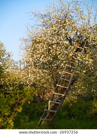 Apple-tree in spring with upward ladder