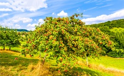 Apple tree in sunny day. Summer apple tree garden scene