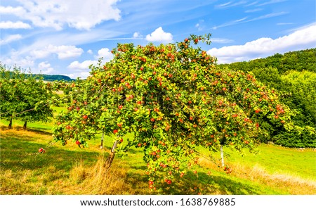 Apple tree in sunny day. Summer apple tree garden scene
