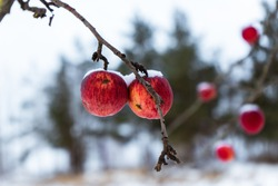 apple tree in winter which has fallen all the leaves, but near them hang red frozen apples