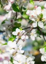 Apple Tree or the so called Malus Domestica