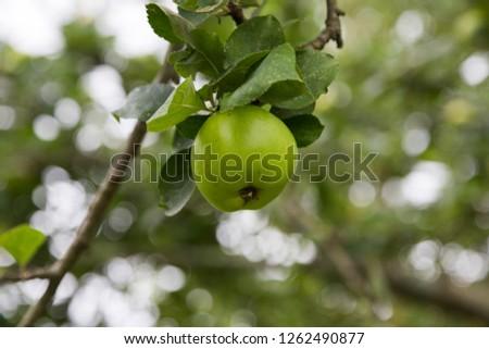 Apple tree, Spain.
