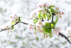 Apple tree unfolded pink blossoms covered with snow in springtime in the garden in morning sunlight  after snowstorm, horticulture, cold weather damages to agriculture  concept
