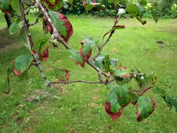 Apple tree with brown leaves, infected by some disease