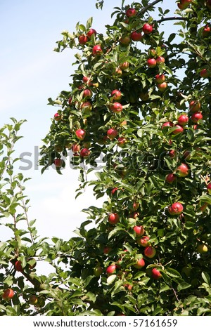 Apple tree with many red apples.