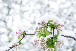 Apple tree with unfolded blossoms covered with snow in springtime in the garden in morning sunlight  after snowstorm, horticulture, cold weather damages to agriculture  concept