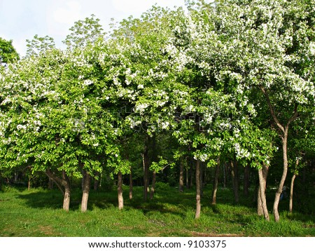 Apple trees blooming spring garden stock photo