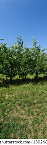 Apple trees in a row, in an apple-tree plantation. Panoramic picture taken in the sunshine. The fruits are not ripe yet. extreme portrait picture