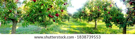 Apple trees in an orchard, with fruits ready for harvest.morning panorama shot Сток-фото ©