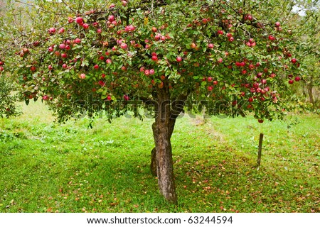 Apple trees in an orchard, with red apples ready for harvest