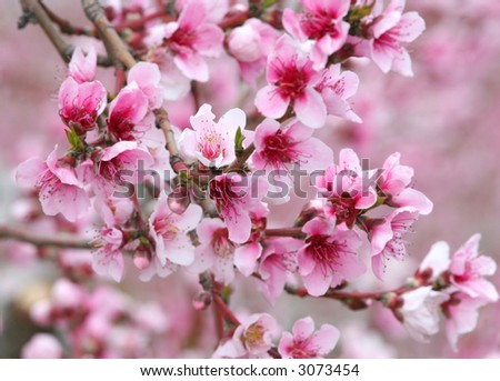 Apple trees in bloom. - stock photo