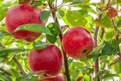 Apple trees in the garden with ripe red apples ready for harvest.