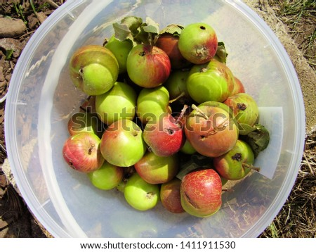 Apples affected by larvae of Codling Moth (Cydia pomonella), Tasmania