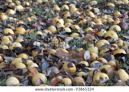 Apples and pears on the ground under the tree
