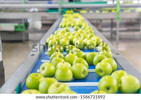 Apples Being Sorted In Fruit Processing And Packaging Plant