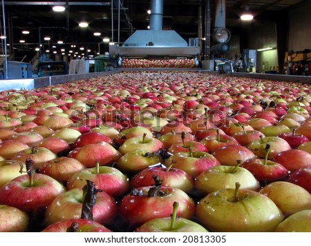 Apples Floating in Water in Packing Warehouse