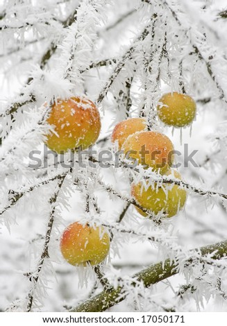 apples hanging at a tree covered with white frost