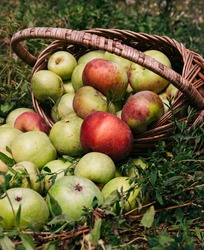 Apples in a wicker straw basket. Fresh bright green and red-pink apples in an inverted basket, a farmer's harvest of late summer and early autumn. A basket of apples is lying on the ground.