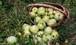 Apples in a wicker straw basket. Fresh bright green apples in an upturned basket, the farmer's harvest of late summer and early autumn. Apple saved. A basket of apples is lying on the ground.