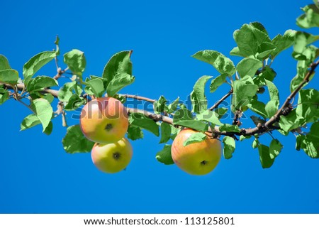 apples in an Apple orchard on the branch of a sour-sweet Apple trees of green red color with green leaves on the background of the bright blue sky