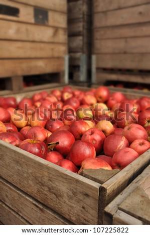 Apples in bulk wooden box